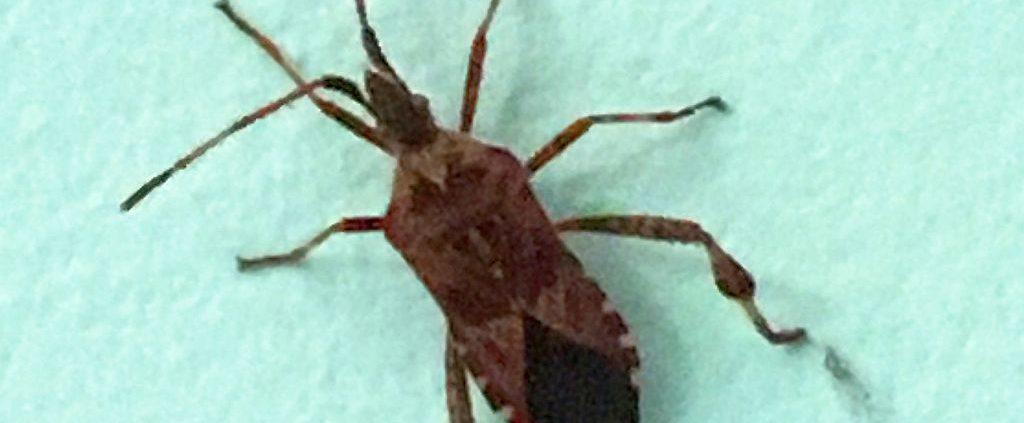 western-conifer-seed-bug