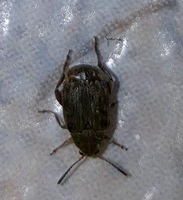 Leaf Beetle (pea or bean weevil)