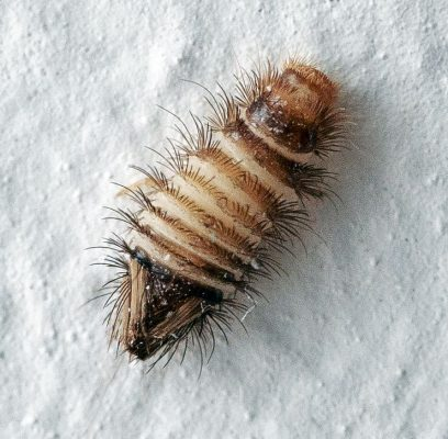 Dermestidae beetle larva