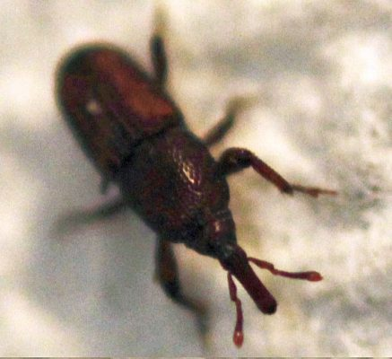 grain/granary weevil