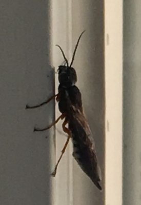 xiphydriid wood wasp