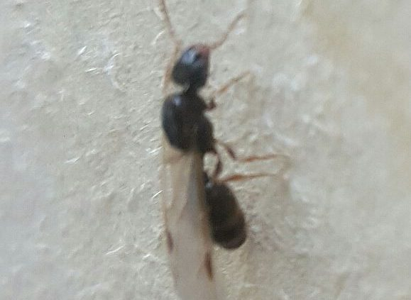 Winged reproductive ant