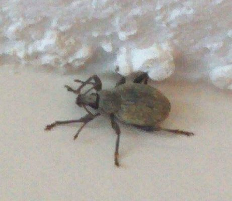 broad-nosed/short-snouted weevils