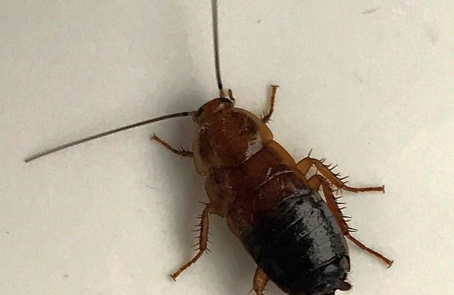 Wood cockroach Nymph