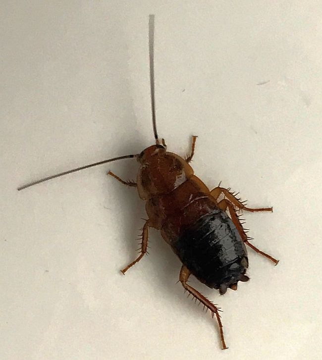 Wood Cockroach Nymph Pest Control Canada
