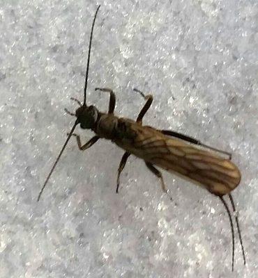 winter stonefly