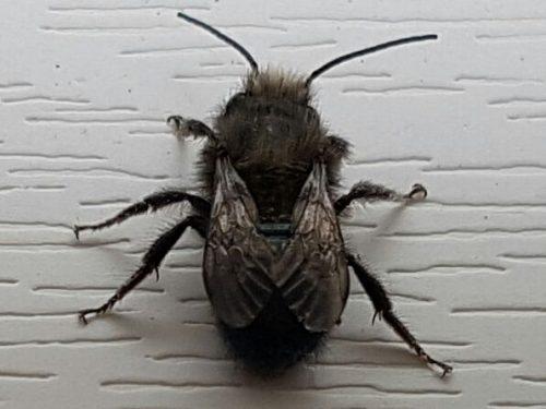 mason/orchard bee