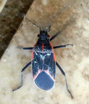 Hibernating Box Elder bug