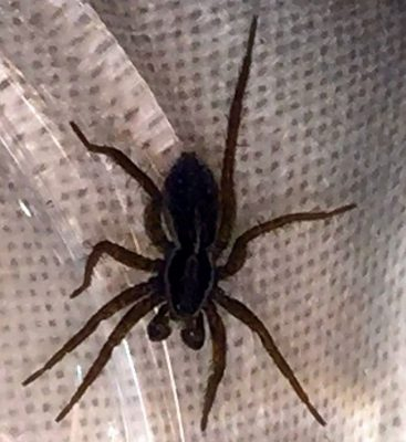 male fishing spider