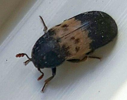 Dermestidae beetle