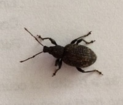 broad-nosed/short-snouted weevil