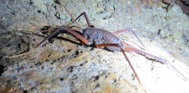 cave/camel cricket