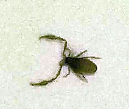 pseudoscorpion