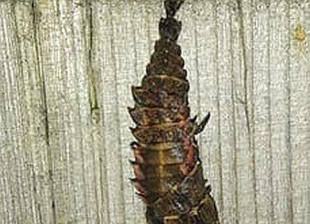 Firefly larva