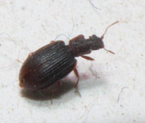 minute brown scavenger beetle