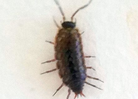 Sow bugs in cottage