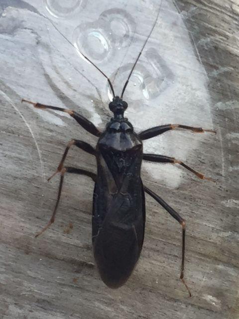 Masked Hunter Bug Bite Pest Control Canada