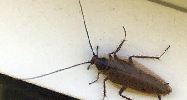 Cockroach (Ectobius)