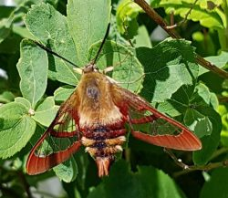 clear-winged sphinx moth