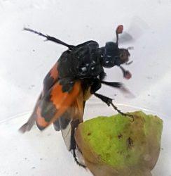sexton/burying beetle