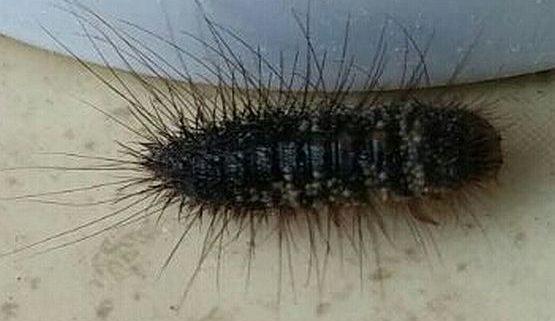 Dermestidae carpet beetle larva