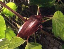 long-horned wood-boring beetle
