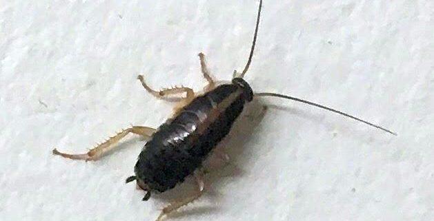 German cockroach nymph
