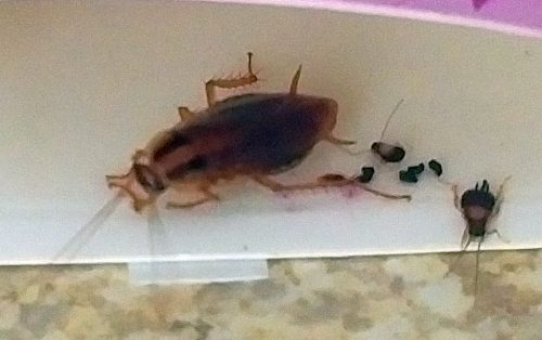 German cockroach and nymphs