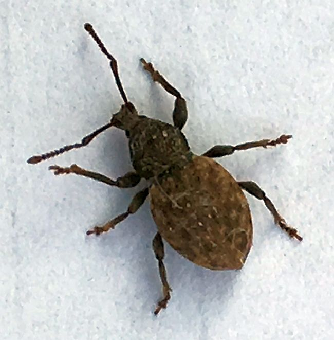 Short Snouted Broad Nosed Weevil Pest Control Canada