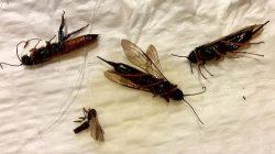 wood wasps