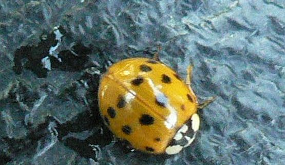 Japanese Lady Beetle