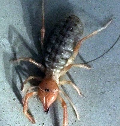 arachnid in the order Solifugae