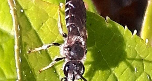 ground-nesting bee