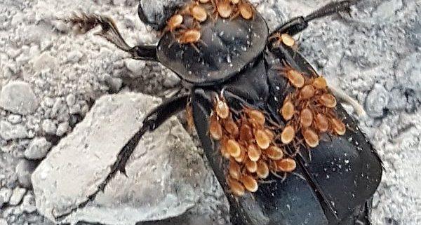 black burying beetle