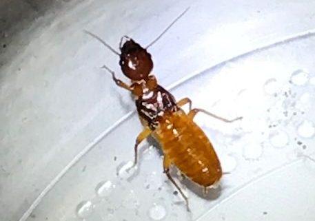 reproductive termite