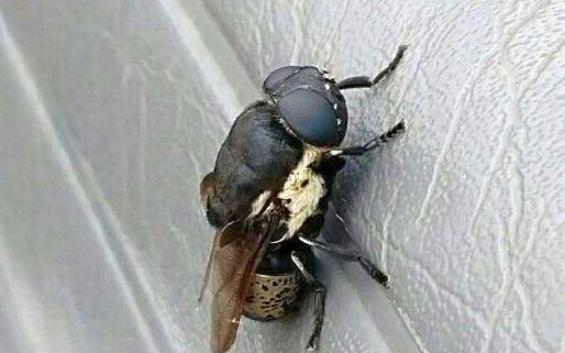 rodent bot fly