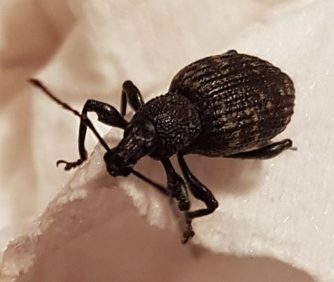 Black vine weevil