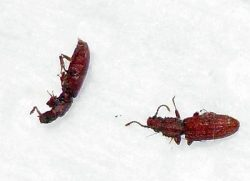 saw-toothed grain beetles