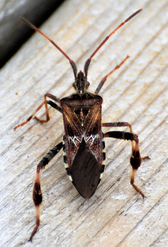 Western Conifer Seed Bug Pest Control Canada