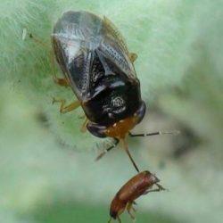 big-eyed bug, Hemiptera